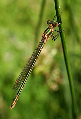 Emerald Damselfly Lestes sponsa Tophill Low NR, East Yorkshire July 2013
