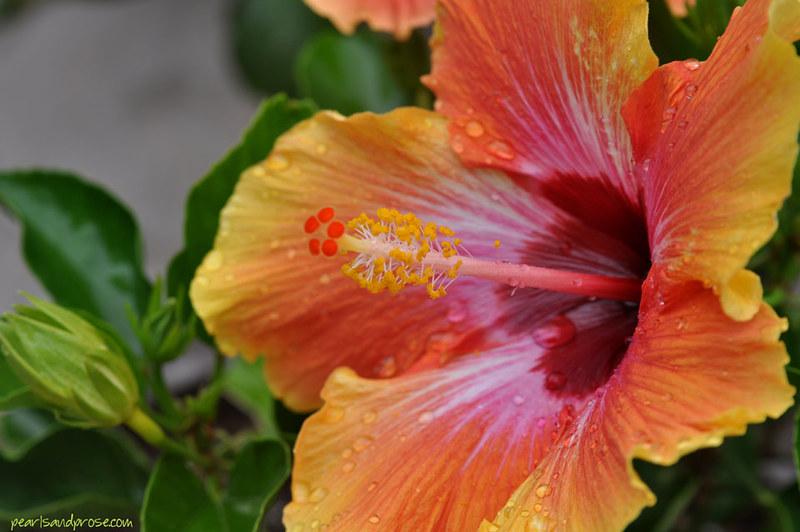 hibiscus_macro_web