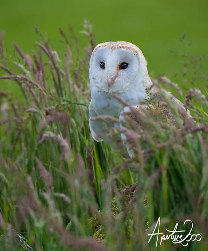 Barn Owl in long grass by TheApertureMan