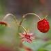 Wild strawberries III