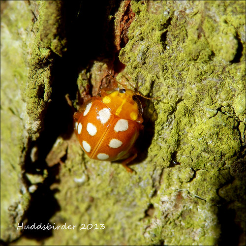 Orange 16 Spot Ladybird