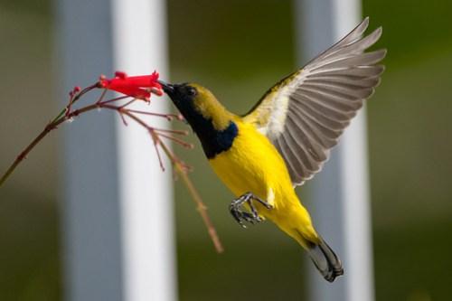 Olive Back Sunbird