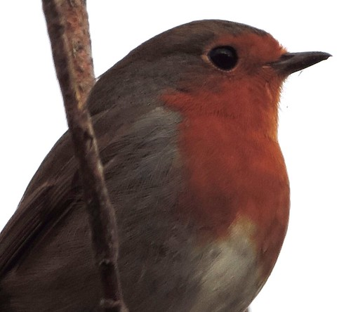 The local robin
