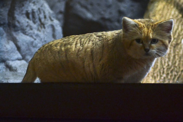 Bart the Sand Cat