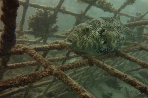 Star pufferfish inside biorock