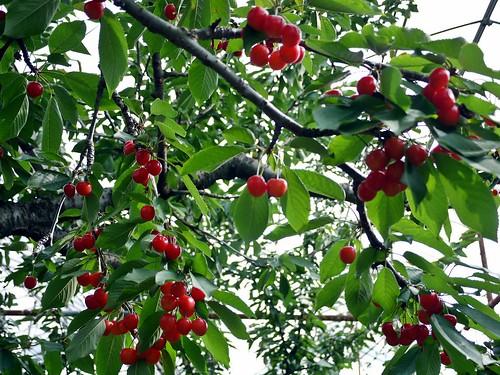 cherry picking yamanshi