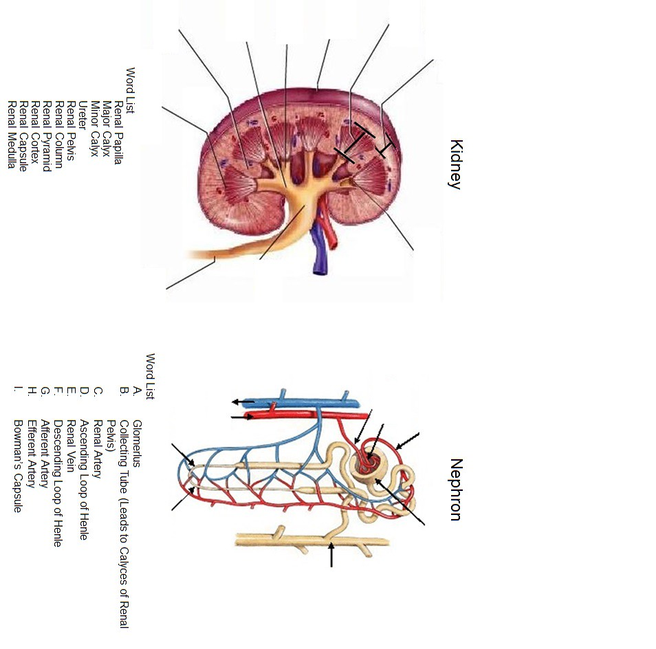 medium resolution of diagram of nephron