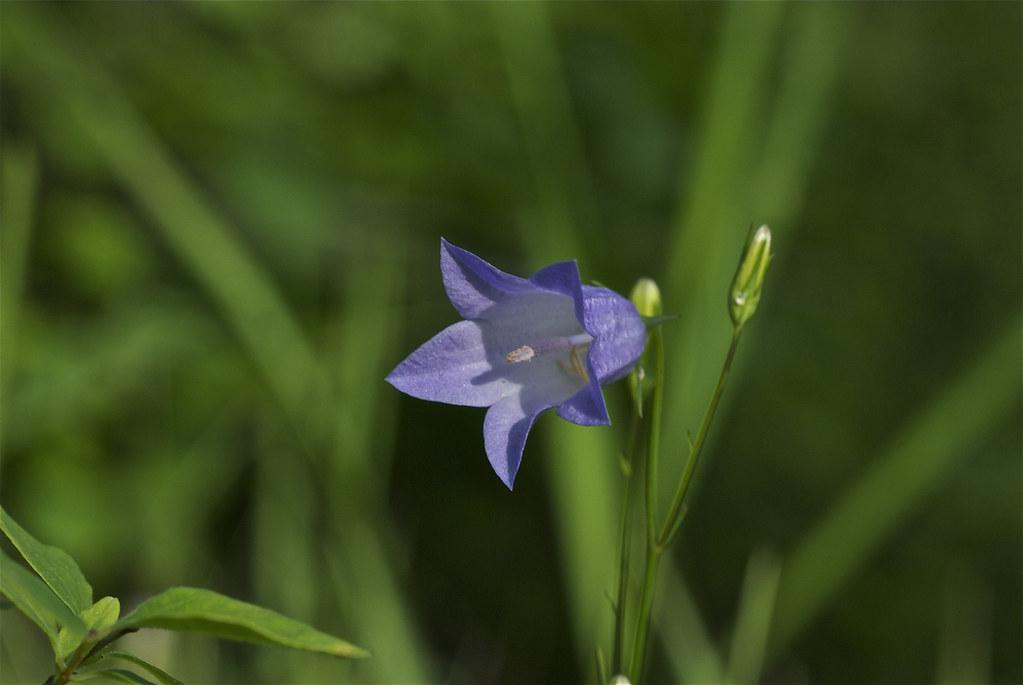 Bluebell bellflower, Bluebell-of-Scotland, Harebell