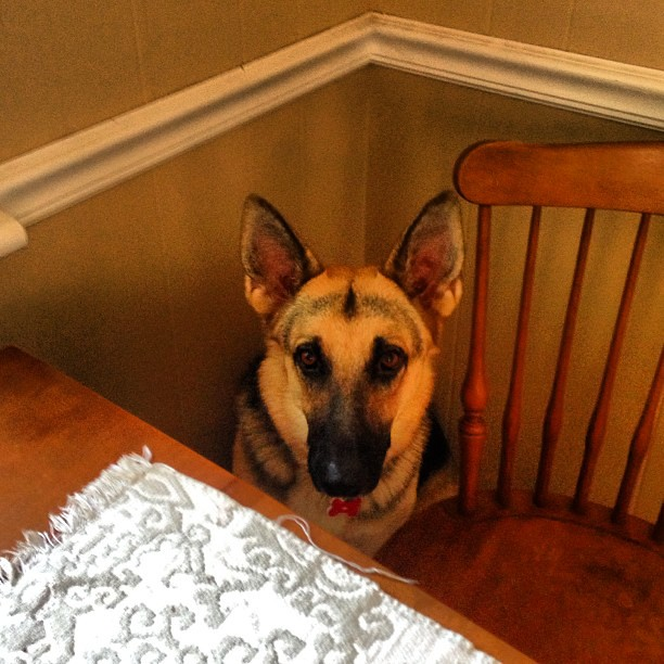 Put herself in time out. #pyrrha #gsd