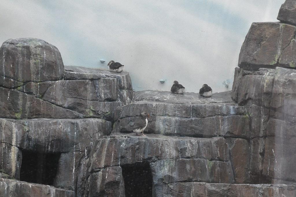 """Seevogelvoliere mit Papageientaucher im """"Den Arktiske Ring"""" im København Zoo"""