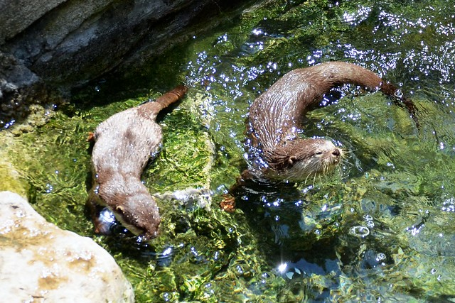 Swimming Otters