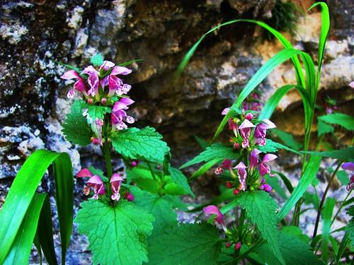 Monte Perdido Flowers