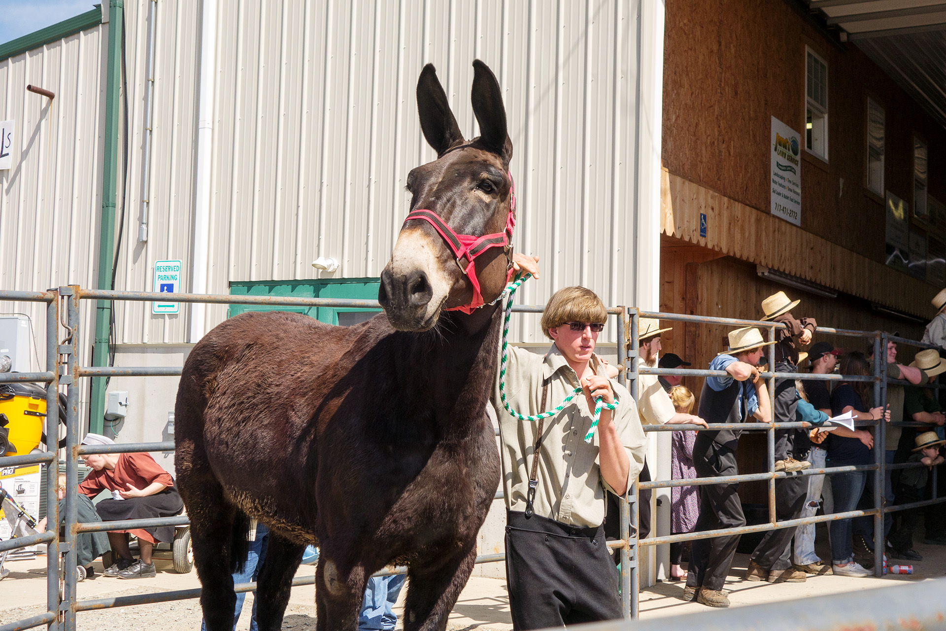 A mule hybrid up for auction.