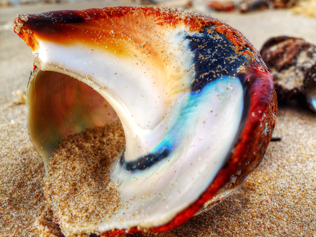 One of the many beautiful shells on Cape Recife