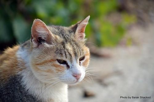 ThreeColor Cat