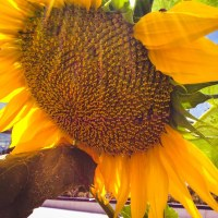 Sunflower_0149