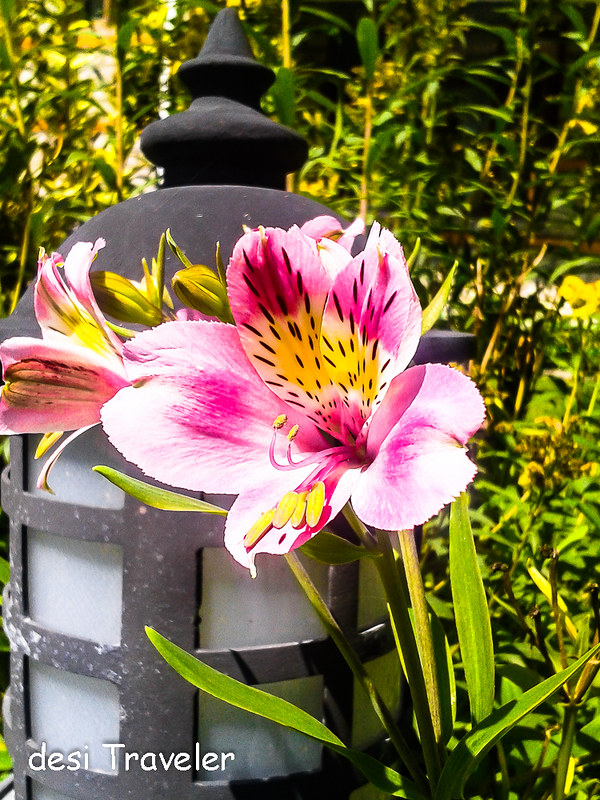 Pink amaryllis lily flowers