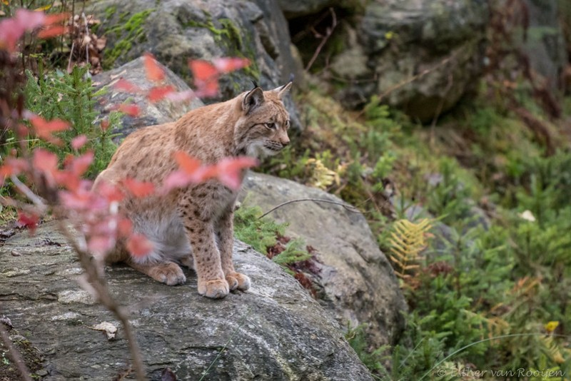 Lynx01-7613