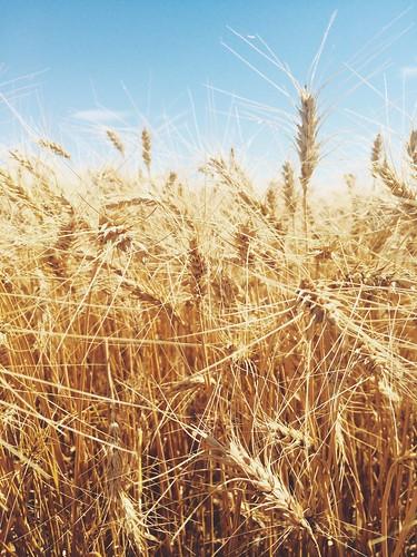Z Crew: Wheat!
