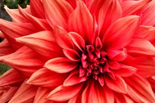 Red Dahlia to die for-r