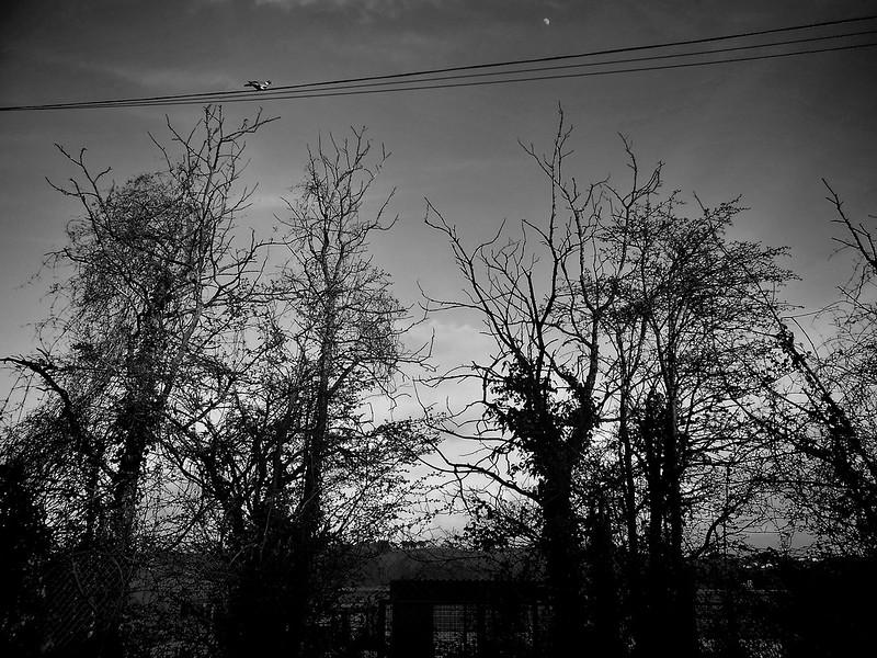 pigeon-moon