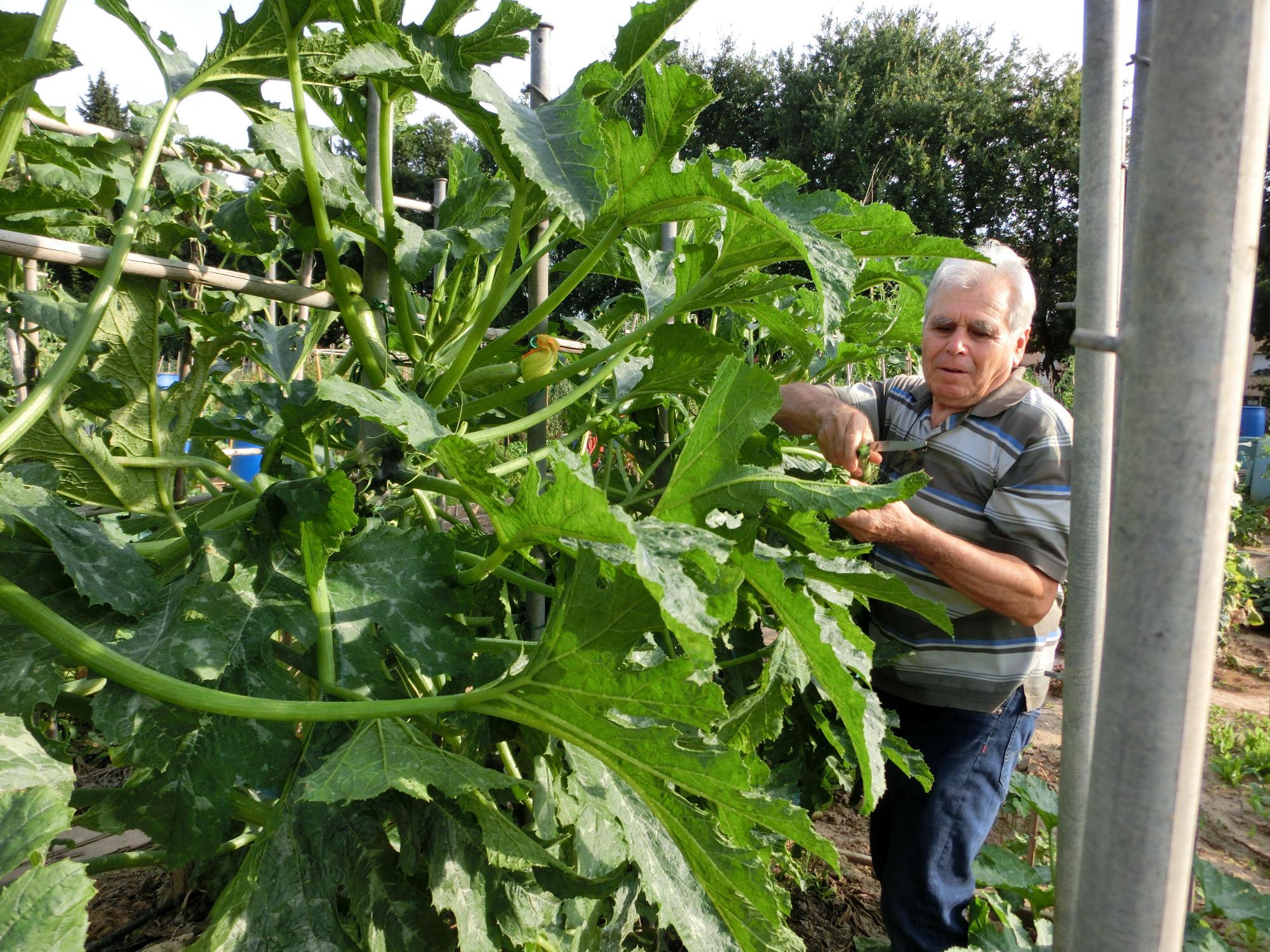 Una curiosa coltivazione Lalbero delle zucchine