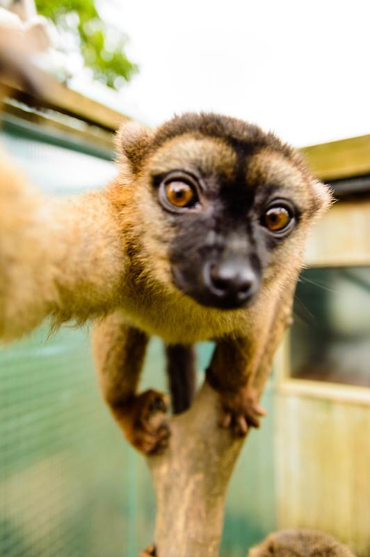 Lemur Selfie
