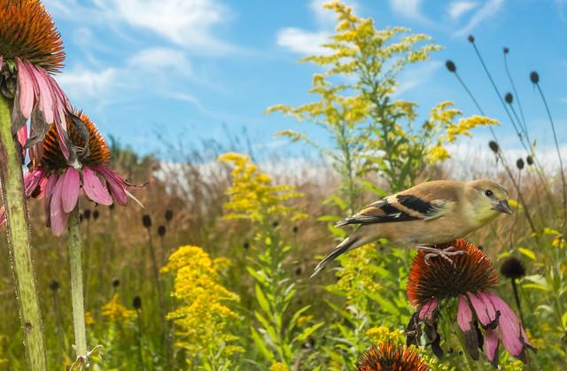 Goldfinch diorama