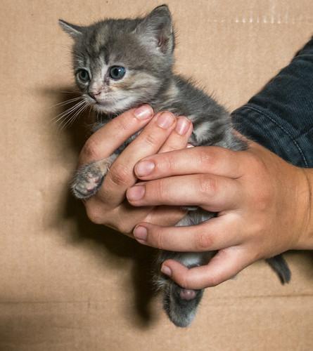 Adorables chatons ?† r?©server type Creusois pure race