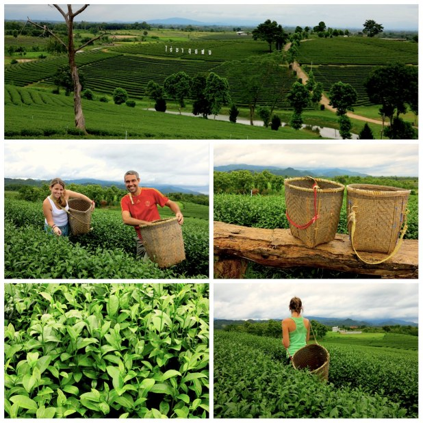 Plantación de té Mae Salong