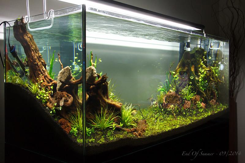 Monte Carlo Aquarium Plant