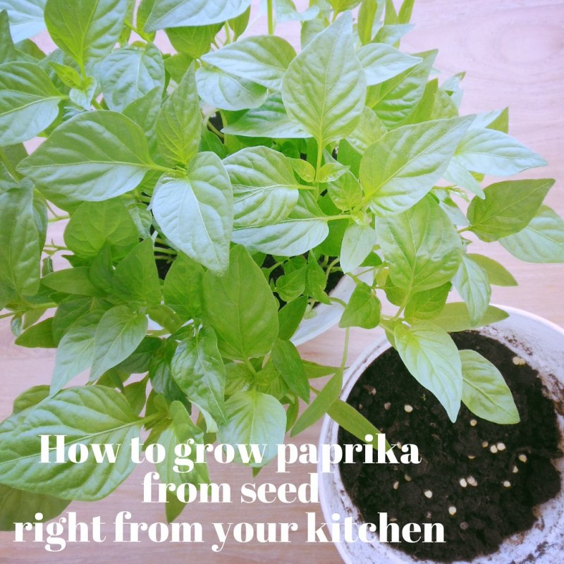 How to grow paprika from seed right from your kitchen