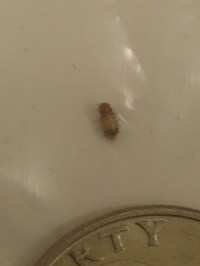 Bed Bug Larvae Pics | BangDodo