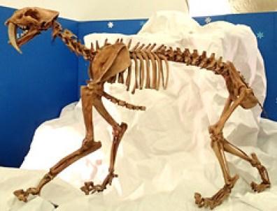 Smilodon fatalis saber-toothed tiger (Upper Pleistocene; California, USA) 1