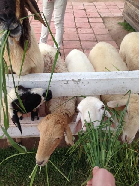 Matning av får