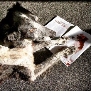 We've had a canine visitor in the Loop offices today. This is Les and he enjoys reading the pet section of Northern Life magazine.  #northernlife #magazine #dog #pets