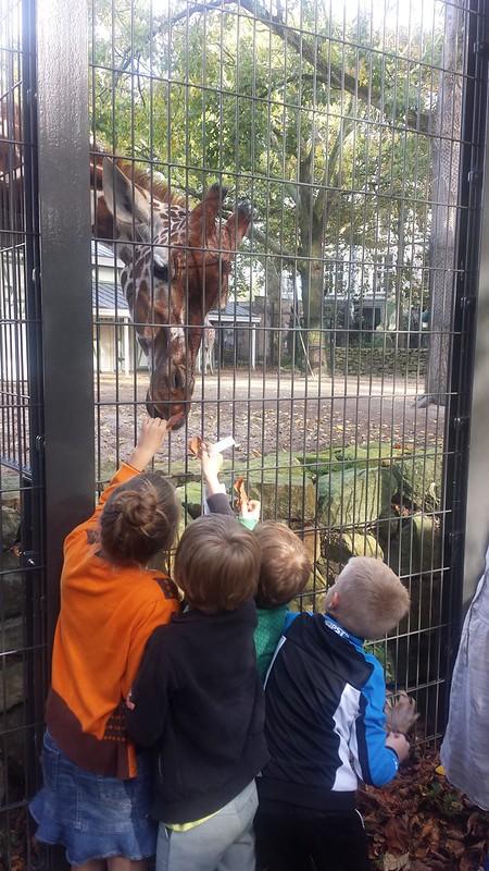 Giraf voederen