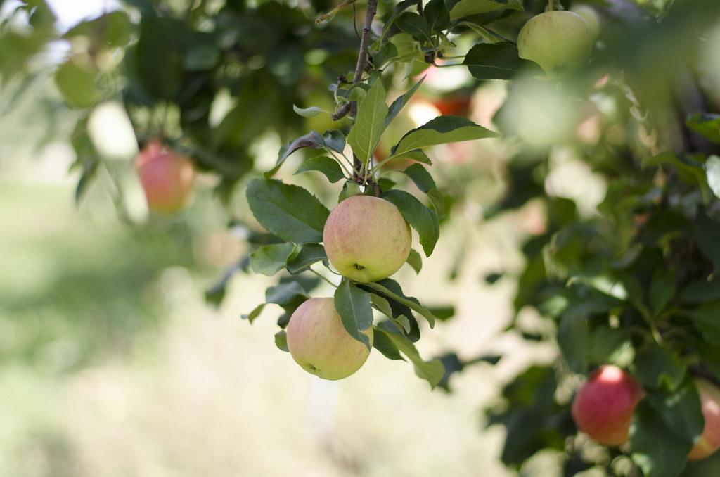 apple picking 9