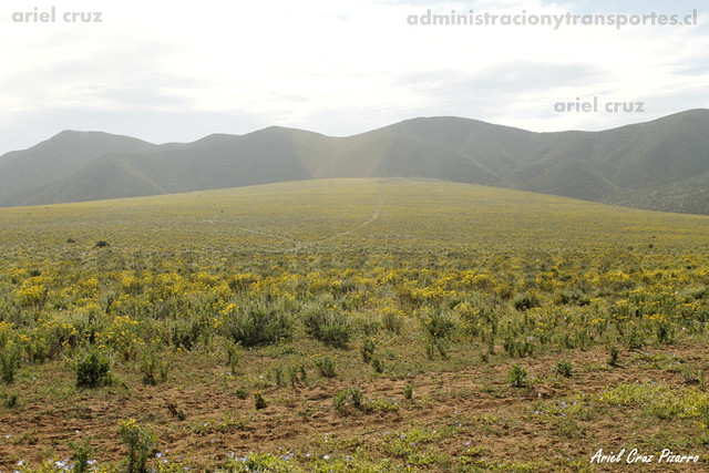 Pradera de Desierto Florido Costero - Senecio (Senecio myriophilus)