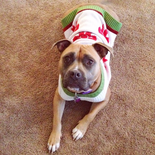 Pitbull in an Ugly Christmas Sweater