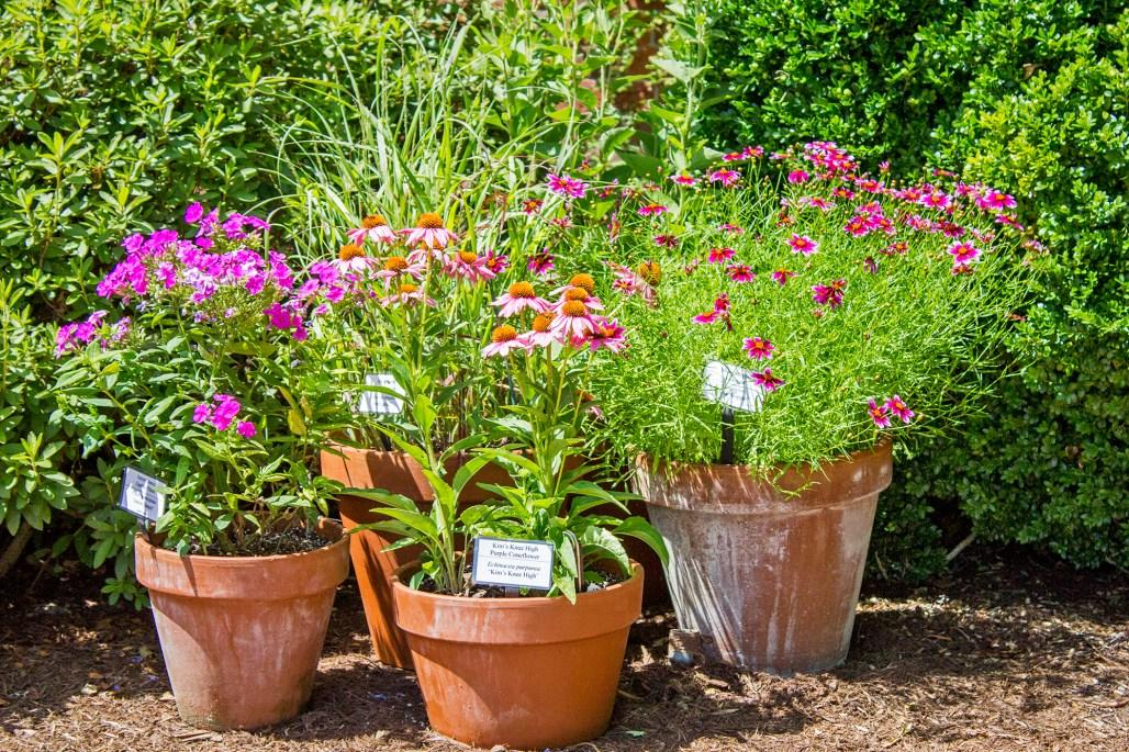 mt-cuba-gardens-delaware-container-gardening-pots-pink-flowers