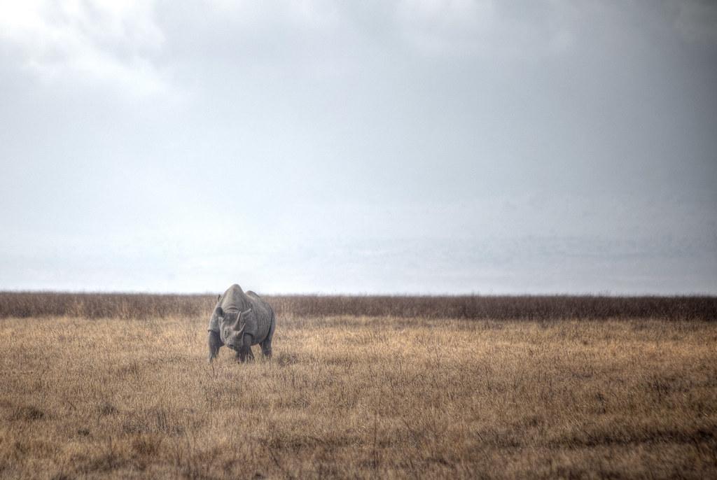 A black rhino inside Ngorongoro Conservation Area
