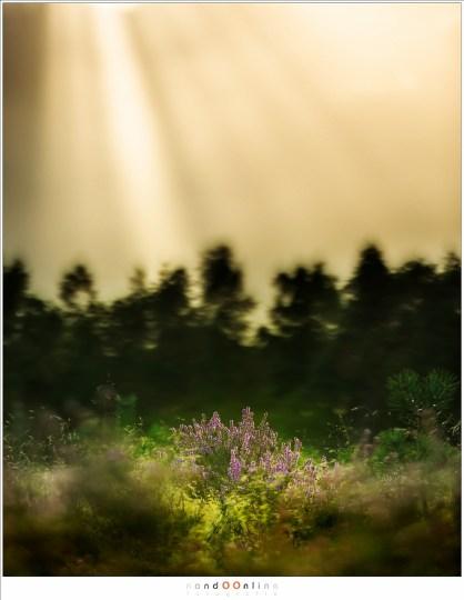Een zonneharp en een geïsoleerde heidestruik. Door de wind was het even wachten tot het juiste moment en een beetje geluk dat de zonnestralen mooi uitvallen. (150mm brandpunt - f/2,8 - 1/50sec)