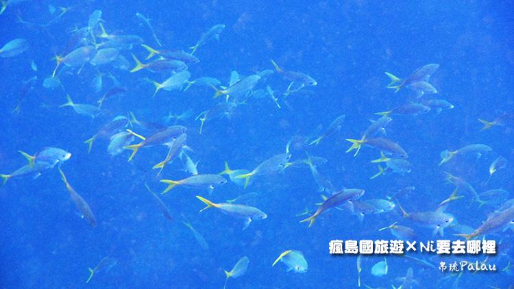 43帛琉戰機魚類