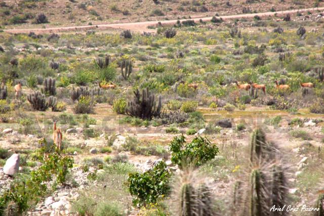 Guanaco - Quebrada de Los Choros