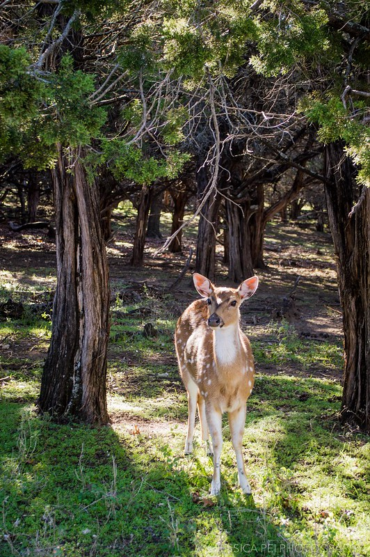 Fossil Rim Wildlife Center Deer