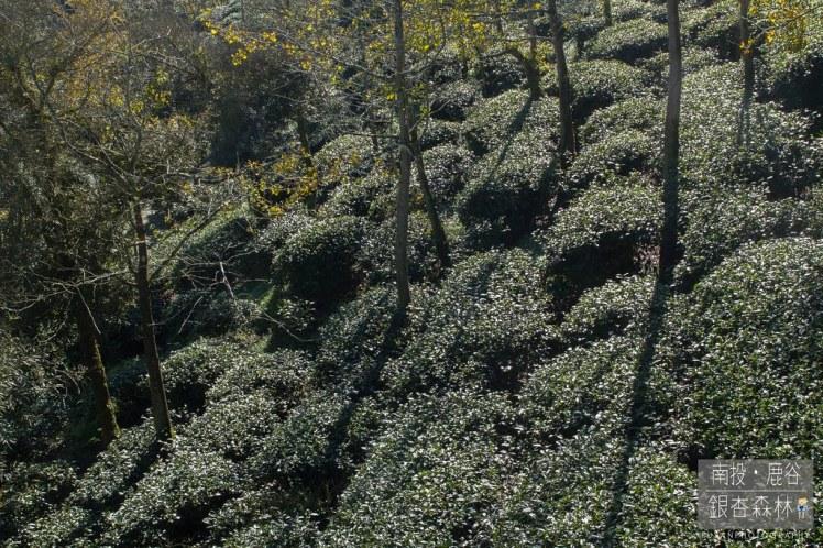 銀杏森林20