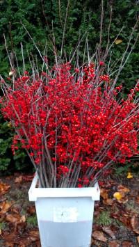 ilex winter branches