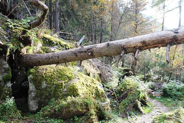 Traversée Montenvers-Plan de l'Aiguille fallen tree chamonix