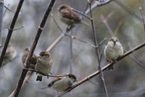 Sparrows in a Bush